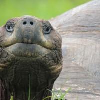 Une tortue terrestre géante