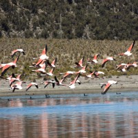 Le vol de flamants roses