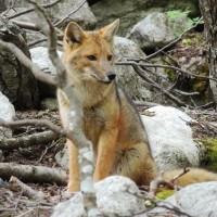 Notre ami Fox