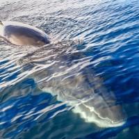 Tout près d'une baleine de Minke
