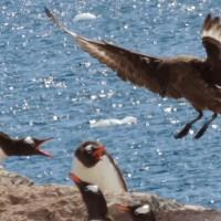 Tableau de la rivalité entre manchots et albatros