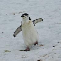 La classe du manchot à jugulaire (Chinstrap Penguin)