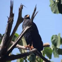 Fier aigle du Corcovado
