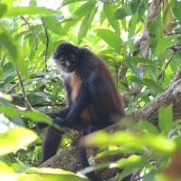 Le singe-araignée