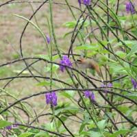 Dur à choper ce colibri