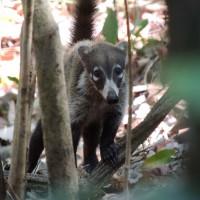 Un coatis observant de loin