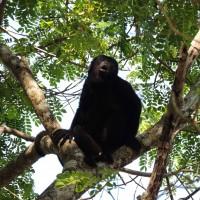 Un singe hurleur